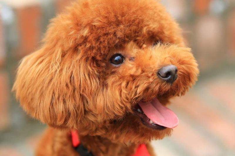幼犬泰迪怎么养?更多需要的是爱心